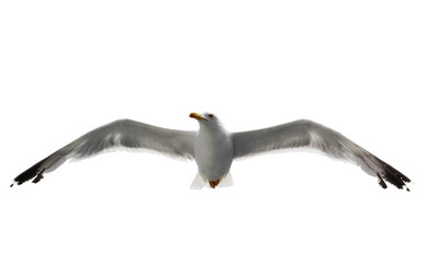 seagull isolated on white background
