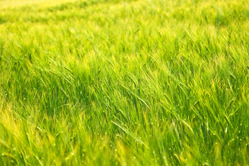 The nice green and yellow field full of barley. The wind is playing with the spikes.