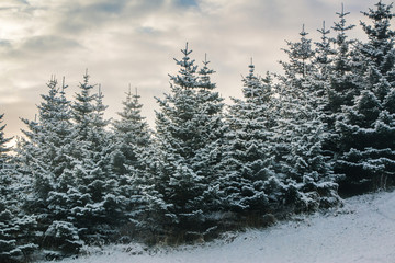 Snow Pines Iceland