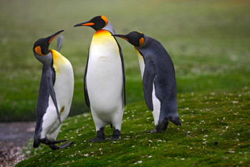 Pair of penguins. Mating king penguins with green background in Falkland Islands. Pair of penguins, love in the nature. Beautiful penguins in the nature habitat. Two birds in the grass. Two penguins.