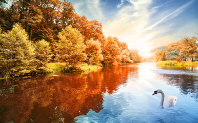 River with autumn forest and swans
