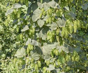 Oregon Grown Hops, Mid Willamette Valley, Polk County Oregon