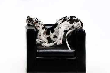 Portrait of a beautiful dog in the chair on a white background