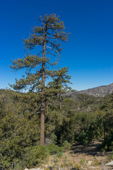 Tall Pine in Angeles Forest