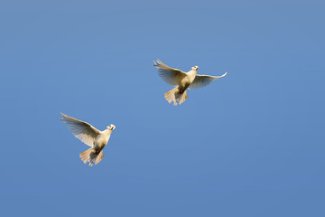 two white doves flying on blue sky background