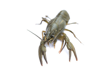 alive crayfish isolated on white background