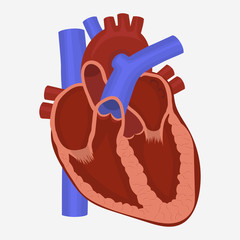 Heart anatomy vector