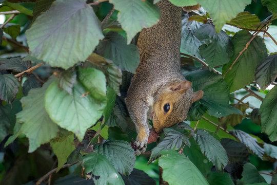Female Grey Squirrel (Sciurus carolinensis) hanging upside-down and feeding on hazelnuts