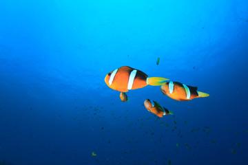 Clownfish Anemonefish tropical fish in ocean