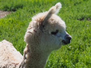 cute baby alpaca in Bolivia