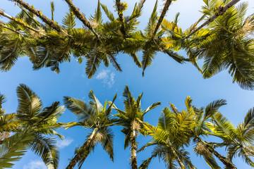 Imperial palms at Malwee Park. Jaragua do Sul, Santa Catarina
