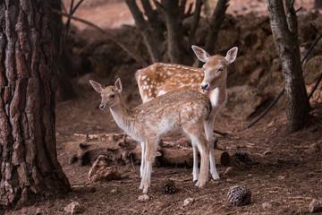 Two young Cervus Dama Deers