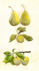 Pear and plum. Watercolor painting