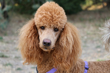 red standard poodle dog with purple walking harness