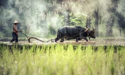Rice farming with buffalo