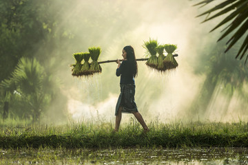 Farmers grow rice in the rainy season. They were soaked with water and mud to be prepared for planting. wait three months to harvest crops