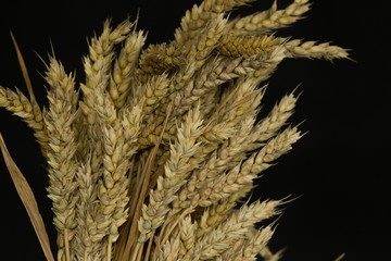 ears of wheat on a black background