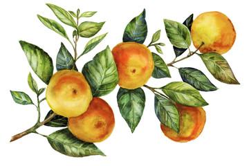 Sunny Mandarin Watercolor