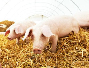 Two young piglet at pig breeding farm