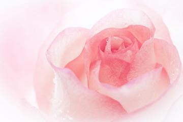Rose background.