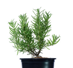 Rosemary in black flower pot isolated on white background