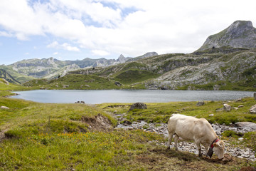 White cow grazing in the mountain near a lake in Ayous Lakes, Pyrenees, France