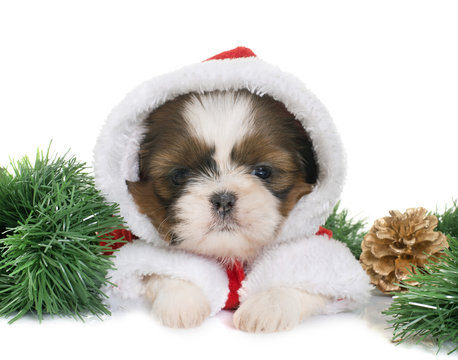 puppy shih tzu and christmas