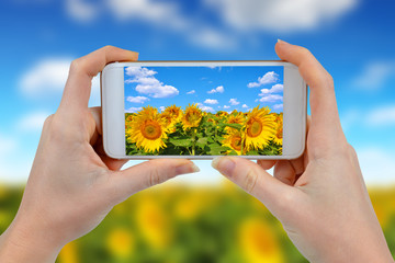 Person is taking photo sunflower field with a smartphone.