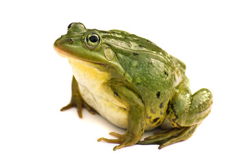 Rana esculenta. Green ,European or water, frog on white background.