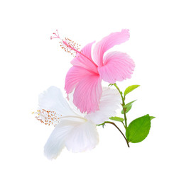 white,Pink hibiscus isolated on white background