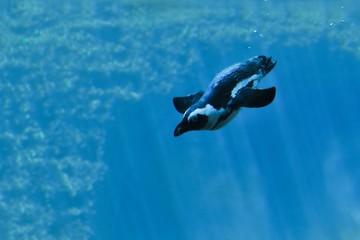 nurkujący pingwin-zdjęcie pod wodą