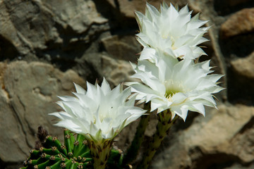 white flowering cactus