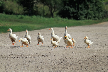 funny family of geese and white ducks crossing the road