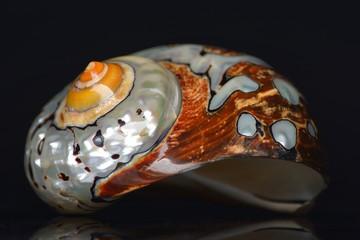 seashell isolated on black background