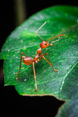 red ant turn back on the green leaf