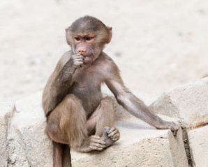 Baby baboon sitting on a rock