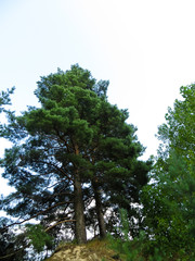 Big lonely pine on a hill