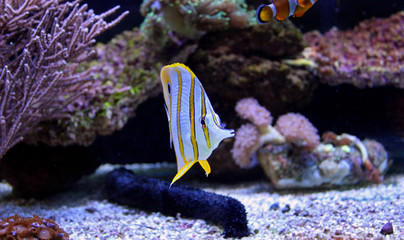 Butterfly fish in marine aquarium tank
