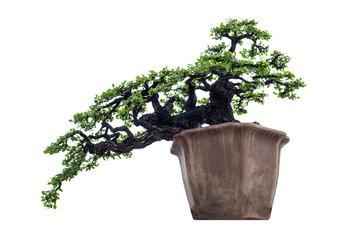 Bonsai tree elegant in brown vase, isolated on white background