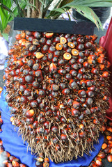Close-up view of palm oil fruit bunches. The photo was taken at Malacca, Malaysia.