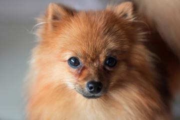 a cute Pomeranian dog