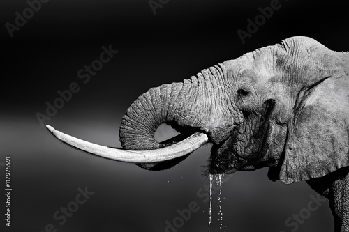 Elephant bull drinking water