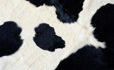 Photo sur Aluminium Vache real black and white cow hide