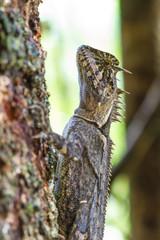 Close up Green crested lizard