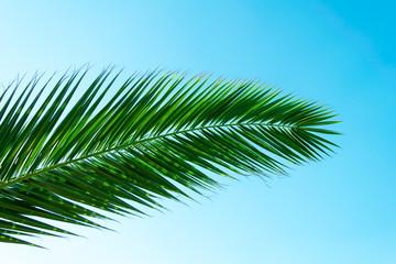 Palm tree leave on a blue sky.