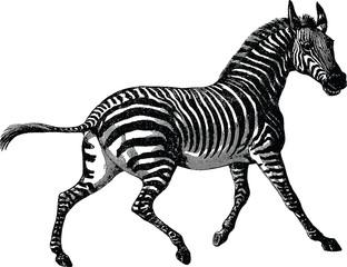 Vintage picture zebra