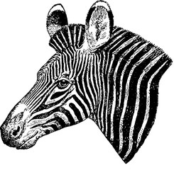 Vintage picture zebra head