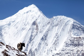 Wall Mural - Himalayan yak with snow mountain (Annapurna II) in background, Annapurna Circuit, Manang, Nepal