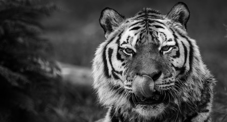 Hungry Tiger bw