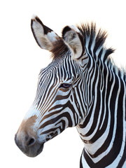 Photo Stands Zebra Zebra Portrait Isolated on White